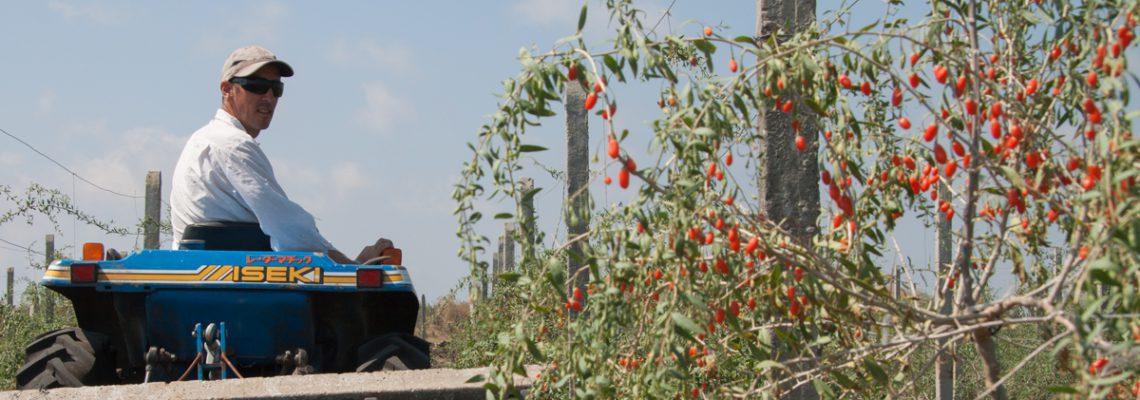 Obrazek tytułowy - Jagoda Goji – Agroporadnik
